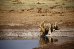 Wyborowy młody okręt podwodny dorosłej samiec lwa pić obrazy stock