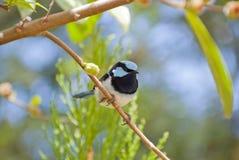 Wyborowy strzyżyk na gałęziasty patrzeć Zdjęcia Stock