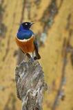 Wyborowy szpaczek, afrykanin i barwiony ptak, Zdjęcie Royalty Free
