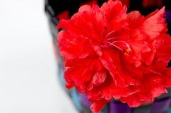 Wybrana ostrość czerwony hibicus kwiat Zdjęcie Stock