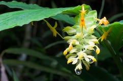 Wybrana ostrość dziki żółty kwiat z kroplą na końcówce Fotografia Stock