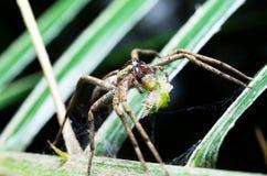 Wybrana ostrość pająk z ofiary jedzeniem w jego usta Obraz Stock