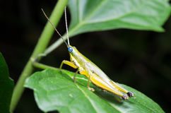 Wybrana ostrość pojedyncza bursztynu i zieleń pasikonika pozycja Zdjęcie Royalty Free