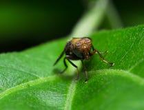 Wybrana ostrość pojedyncza kolorowa komarnica na świeżym zielonym liściu Obraz Stock