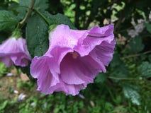 Wybuch purpury fotografia stock