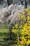 Wybuch wiosna z kwitnącymi drzewami Zdjęcia Stock