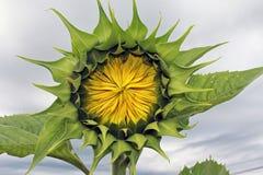 wybuchu słonecznik Fotografia Stock