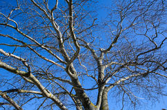 Wych Elm tree Stock Image