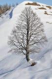wych för tree för stor liggande för alm snöig arkivbild