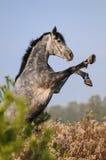 Wychowu koń Fotografia Royalty Free