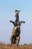 Wychowu popielaty koń Fotografia Stock