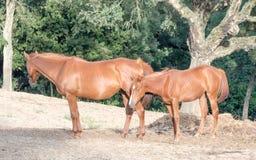 Wychowywa synów konie Fotografia Stock