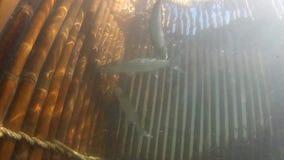 Wychwytana ryba z antyczną połów techniką zbiory