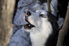 Wycie pies Syberyjskiego husky pies w zima pogodnym lesie obrazy stock