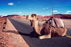 Wycieczki samochodowe i przygody Maroko krajobraz dromader przejażdżka Fotografia Royalty Free
