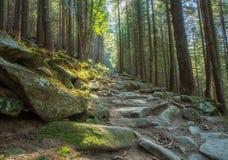 Wycieczkować ślada przez gigantycznych redwoods Obraz Stock