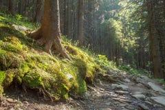Wycieczkować ślada przez gigantycznych redwoods Zdjęcie Stock