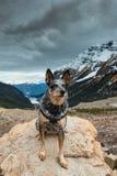 Wycieczkować Błękitnego Heeler psa zdjęcie royalty free