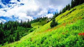 Wycieczkować przez Alpejskich łąk kolorowi Wildflowers Tod góra pełno obraz stock