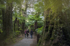 Wycieczkować wędrówkę Ryczeć Billy Spada wśród tropikalnego lasu deszczowego i paproci drzew, Nowa Zelandia zdjęcie stock