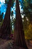 Wycieczkowicz, podziwia Gigantycznej sekwoi drzewa Zdjęcia Royalty Free