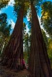 Wycieczkowicz, podziwia Gigantycznej sekwoi drzewa Obraz Stock