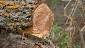 Wycinarka Å›ciera drzewo na koniec zbiory