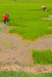 Wycofanie ryż rozsady Zdjęcia Stock