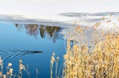 Wyderkowy dopłynięcie w zimy jeziorze Zdjęcia Royalty Free