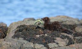 Wyderkowy Neovison vison z krabem że ono właśnie jest wokoło jeść je i Zdjęcie Royalty Free