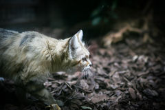 Wydmowy kot (Felis margarita) Zdjęcie Stock