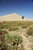 wydmowy kwiatu pepiniery piaska drzewo Obraz Royalty Free