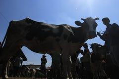 Wydojowa krowa Zdjęcie Stock
