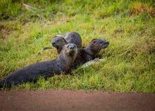Wydrowa rodzina w dzikim środowisku Fotografia Royalty Free