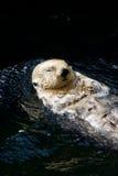 wydrowy morza Zdjęcia Royalty Free