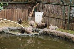 wydry Fotografia Royalty Free