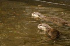 Wydry pływają Zdjęcia Royalty Free