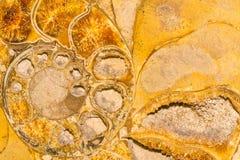 Wygłupy małża skorupy ślimakowata skamielina makro- fotografia royalty free