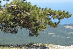 Wyginająca się samotna sosna na górze góry przeciw lesistemu miastu pod i wzgórzu, Pojęcie ekosystem konserwacja fotografia royalty free