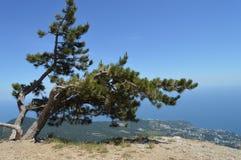 Wyginająca się samotna sosna na górze góry przeciw lesistemu miastu pod i wzgórzu, Pojęcie ekosystem konserwacja obrazy royalty free