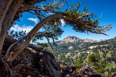 Wyginająca się Sosnowa Brokeoff góra i kończyna, Lassen parka narodowego ` Obrazy Stock