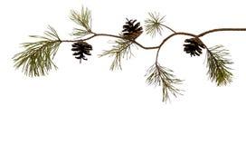 Wyginająca się sosny gałąź z pinecone, odizolowywającym na bielu Dla kartek bożonarodzeniowych Przygotowywający dla twój swój dek obraz royalty free