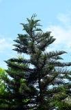 Wyginający się Atrakcyjny Kucbarski Sosnowy Conifer drzewo choinka w India - z niebieskiego nieba tłem - araukaria Columnaris - obrazy royalty free