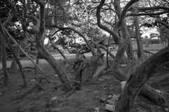 Wyginający się drzewa Obrazy Stock