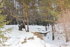 Wyginający się drzewo Zdjęcia Royalty Free