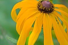 Wyginający się Rudbeckia hirta Fotografia Stock