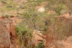 Wygryziona ziemia z few Akacjowymi drzewami, Kilome równiny, Makueni okręg administracyjny, Kenja obraz stock