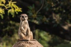 Wygrzewa się meerkat Zdjęcia Royalty Free