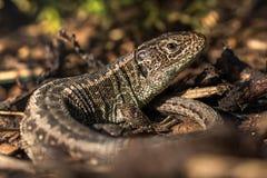 Wygrzewa się piasek jaszczurka w Korowatym chochole (Lacerta agilis) Obraz Stock