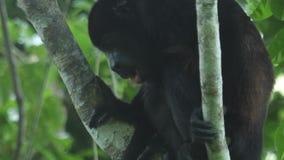 wyjec małpa zdjęcie wideo